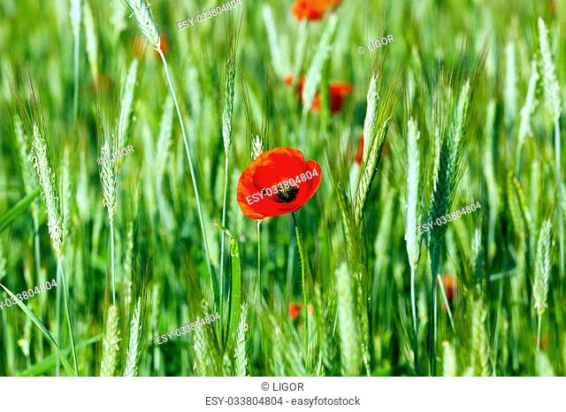 a blooming red poppy growing in the agricultural field, where they grow wheat