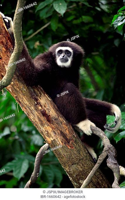 Lar Gibbon or White-handed Gibbon (Hylobates lar), adult in a tree, Asia