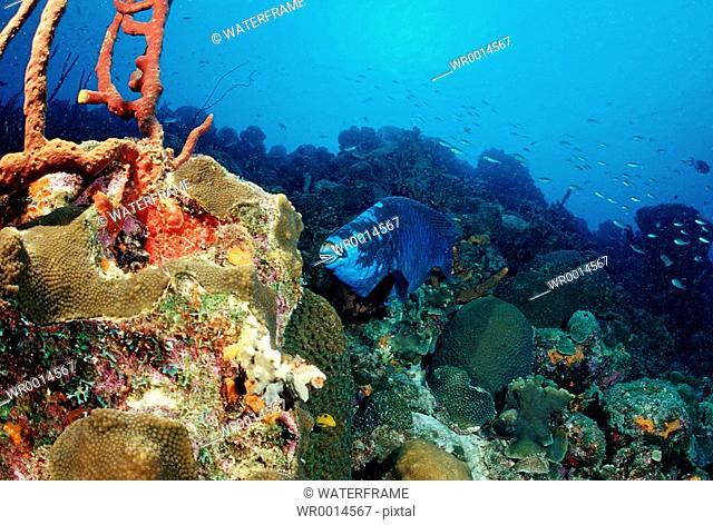 Midnight Parrotfish at Coral Reef, Scarus coelestinus, Caribbean Sea, Cuba