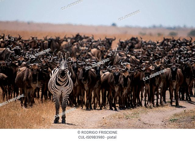 Zebra leading hundreds of wildebeests on their yearly migration through the Mara River, between Tanzania and Kenya
