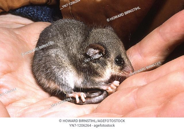Pygmy possum Cercatetus nanus huddling on a human hand