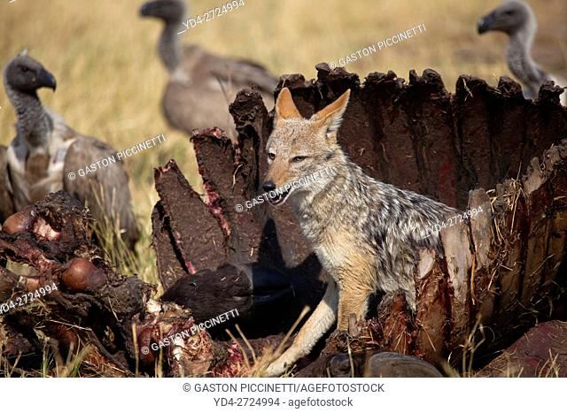 Cape Vultures (Necrosyrtes monachus), and Black-backed Jackal (Canis mesomelas) at the carcass of a Cape Buffalo (Syncerus caffer caffer)