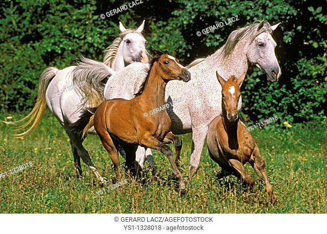 ARABIAN HORSE, MARES WITH FOALS GALLOPING THROUGH MEADOW