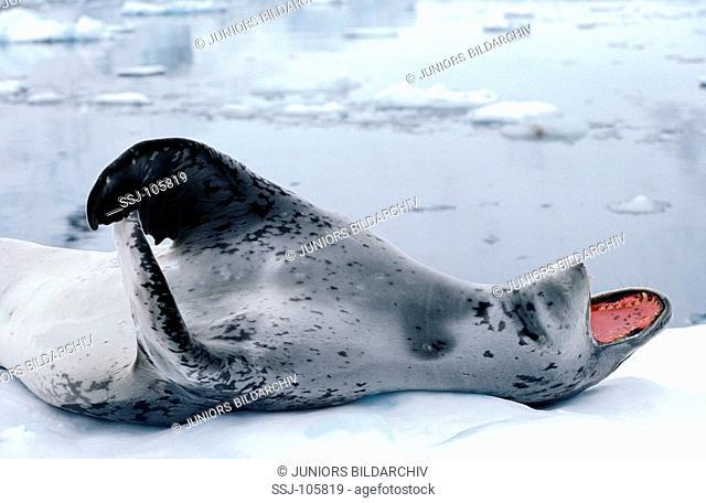 leopard seal lying on the back / Hydrurga leptonyx