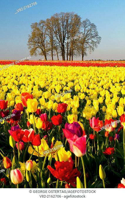 Tulip field with oak grove, Wooden Shoe Bulb Co., Clackamas County, Oregon