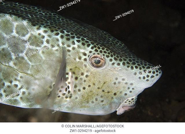 Shortsnout Boxfish (Ostracion rhinorynchos), night dive, Seraya House Reef dive site, Seraya, near Tulamben, Bali, Indonesia