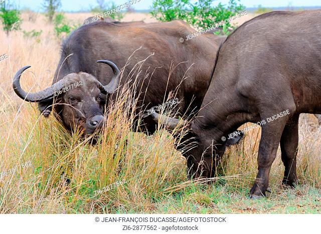 African buffaloes or Cape buffaloes (Syncerus caffer), feeding on grass, Kruger National Park, South Africa, Africa