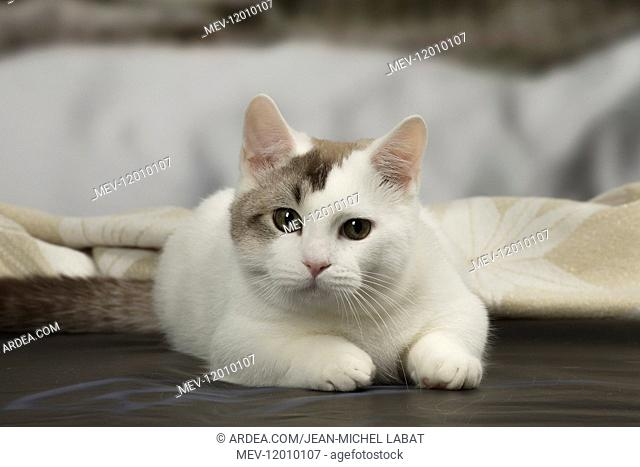 White and chocolate Munchkin Taby cat indoors