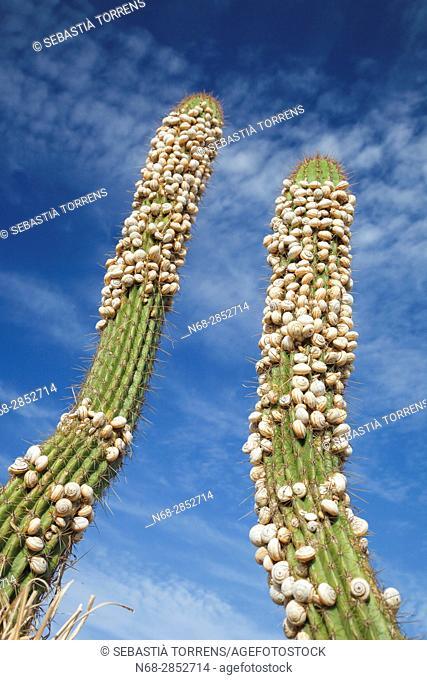 Small snails on cacti, Campos, Majorca, Balearic Islands, Spain