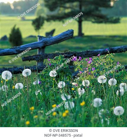 Dandelion Taraxacum officinale flowers in a field