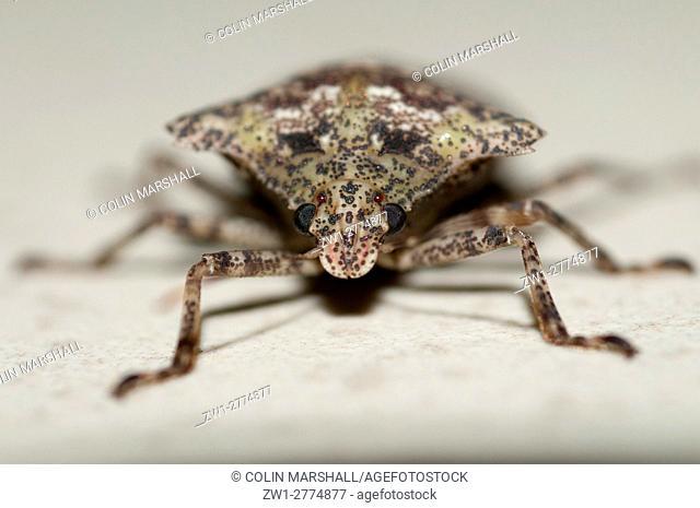 Stink Bug (Hemiptera order, Pentatomoidea family), Klungkung, Bali, Indonesia