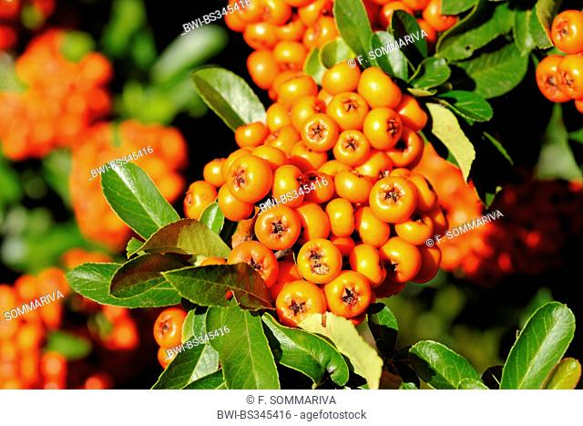 fire thorn, scarlet firethorn, burning bush (Pyracantha coccinea), branch with fruits