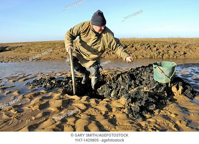 Traditional digging for Lugworms, arenicola marina, to be used for sea fishing bait, North Norfolk Saltmarsh, England, March