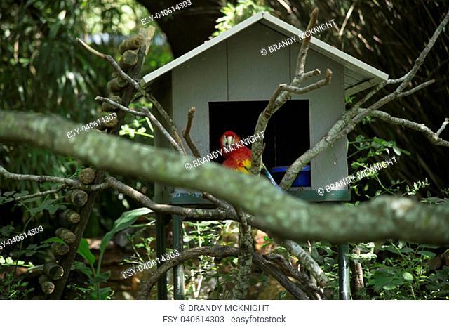 Scarlet macaw near a birdhouse