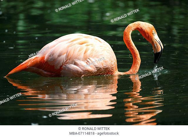 American flamingo, (Phoenicopterus ruber), captive, water