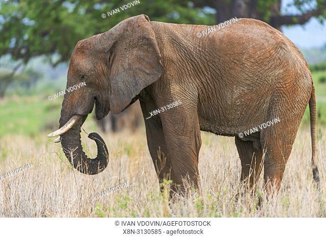 African Elephant (Loxodonta africana), Tanzania, East Africa