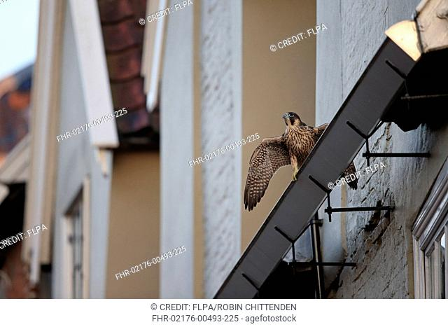 Peregrine Falcon (Falco peregrinus) juvenile, with wings spread, perched on guttering near cathedral nestsite, Norwich Cathedral, Norwich, Norfolk, England