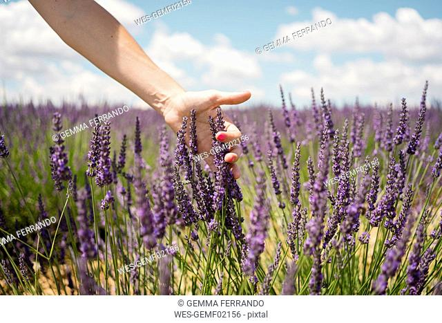 France, Provence, woman touching lavender bloosoms in field in the summer