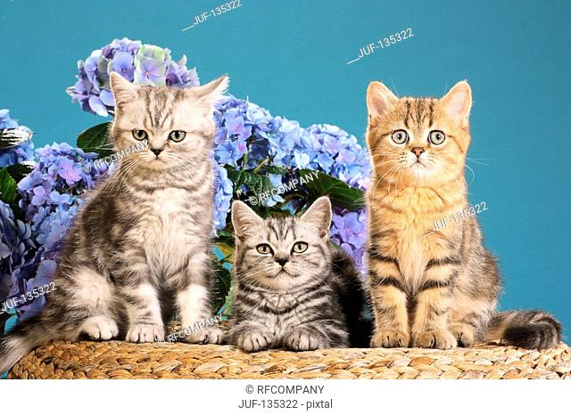 three Exotic Shorthair kittens in front of flowers