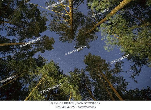 Natural Real Night Starry Sky Above Green Pine Trees In Forest Park. Eco Background Of Night Sky Glowing Stars Above Summer Woods