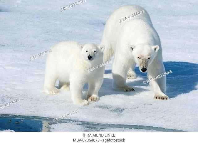 Polar Bear, Ursus maritimus, Mother with Cub, North East Greenland Coast, Greenland, Arctic