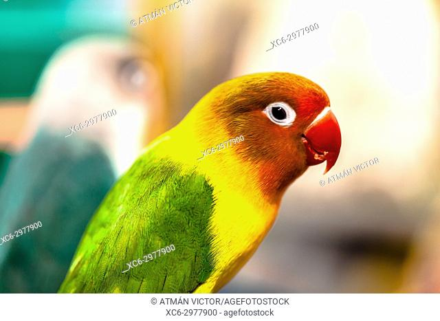 Close up of yellow-collared lovebirds