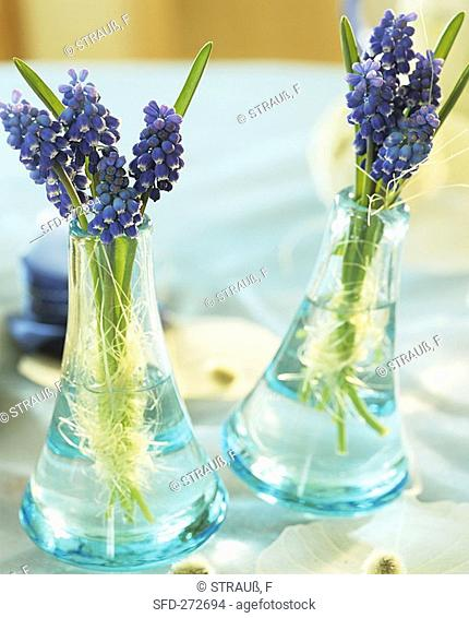 Grape hyacinths in small glass vases