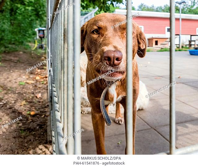 A dog in a kennel at the animal shelter in Luebeck, Germany, 4 September 2015. Animal shelters are supposed to help animals in need