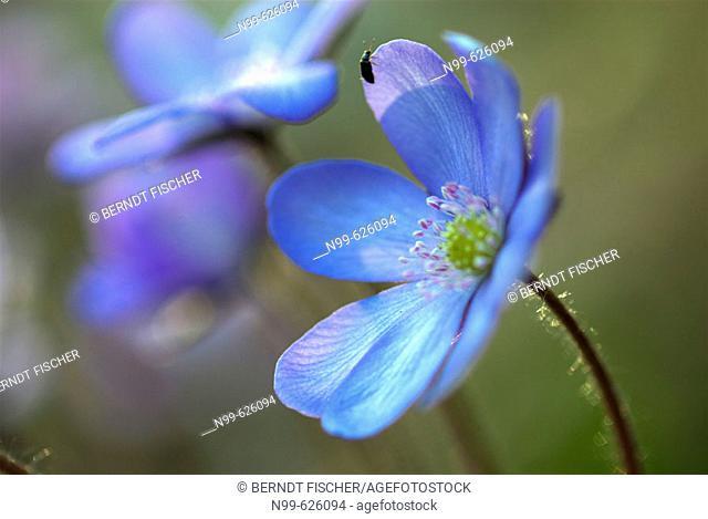 Liverwort (Hepatica triloba-Anemone hepatica), spring, deciduous forest, Franconia, Germany