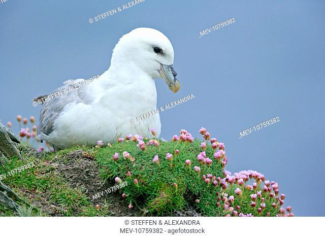 Fulmar - adult sitting on nest - in sea thrift (Fulmarus glacialis)