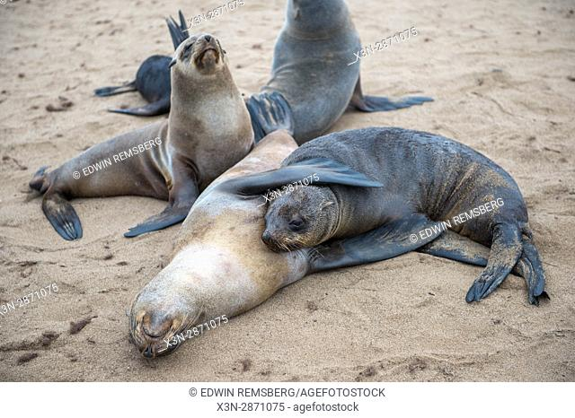 Young seal nuzzling its mother at the Cape Cross Seal Reserve, located in Namibia, Africa