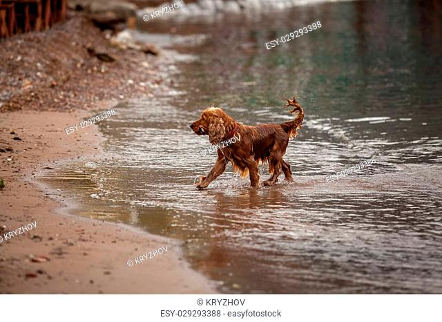 Beautiful brown cocker spaniel playing with stick on sand beach