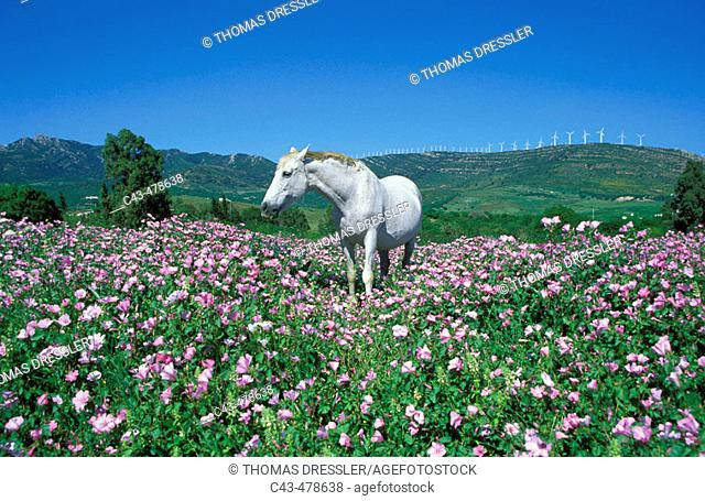 Mare, feeding in a flowery spring meadow near Tarifa; in the background on the ridge a wind farm (characteristic of this area)