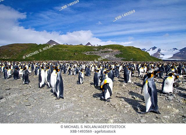 King penguins Aptenodytes patagonicus at breeding and nesting colony at Salisbury Plains in the Bay of Isles, South Georgia