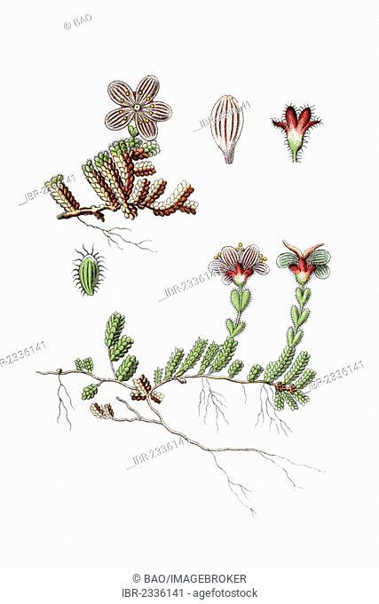 Purple saxifrage, purple mountain saxifrage (Saxifraga oppositifolia), medicinal plant, historical chromolithography, around 1796