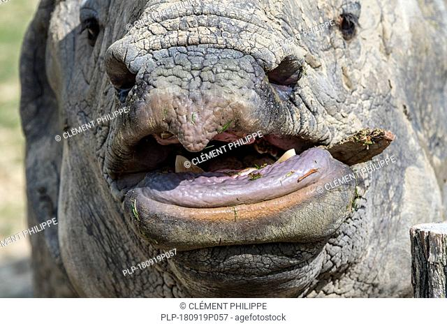 Indian rhinoceros (Rhinoceros unicornis) close up of snout showing sharp lower incisor teeth used for fighting