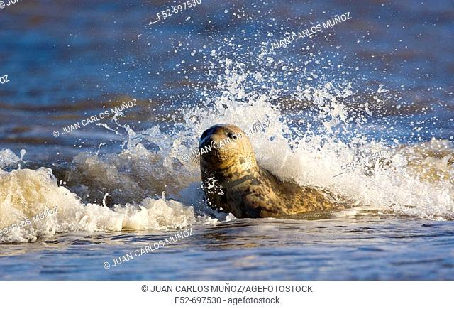 Grey Seal (Halichoerus grypus). Donna Nook National Nature Reserve, England. UK