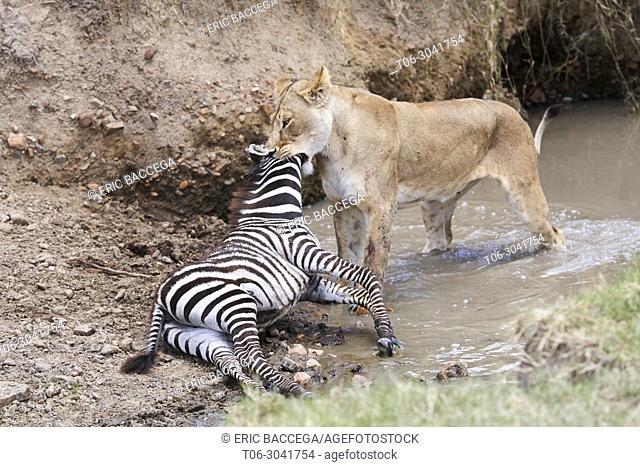 African Lion (Panthera leo), lioness killing plain zebra foal (Equus quagga), Masai Mara National Reserve, Kenya, Africa