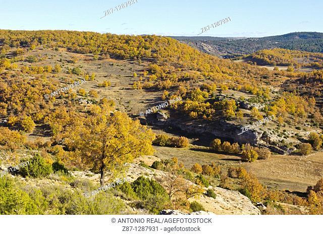 Portuguese Oak (Quercus faginea). Quejigar de Torrecuadrada de los Valles, Valle del Río Tajuña, La Alcarria, Guadalajara, Spain