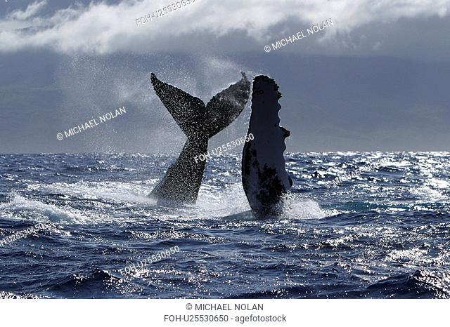 Humpback Whale Megaptera novaeangliae Two, Auau Channel, Maui, Hawaii, North America