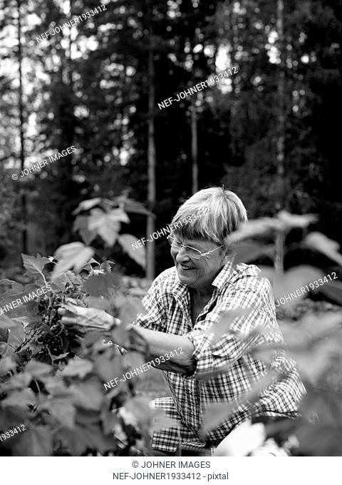 Smiling senior woman picking berries