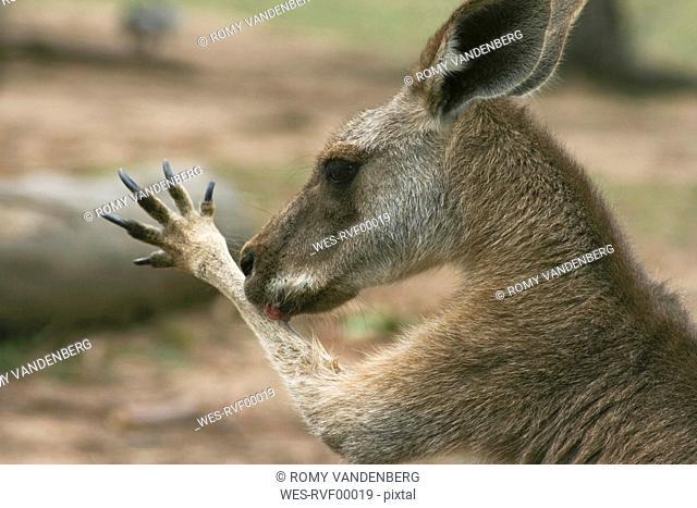 Australia, Queensland, Wallaby Macropus agilis, side view, portrait