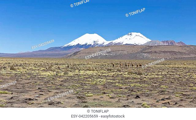 Andean panorama: Group of vicua (Vicugna vicugna) or vicugna in Sajama National Park, Bolivia. Range of the Andes. Vicuas live at altitudes of 3,200 to 4,800 m