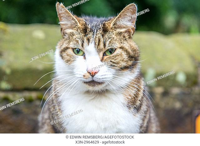 Portrait of Tabby cat outdoors, Haworth, West Yorkshire, England