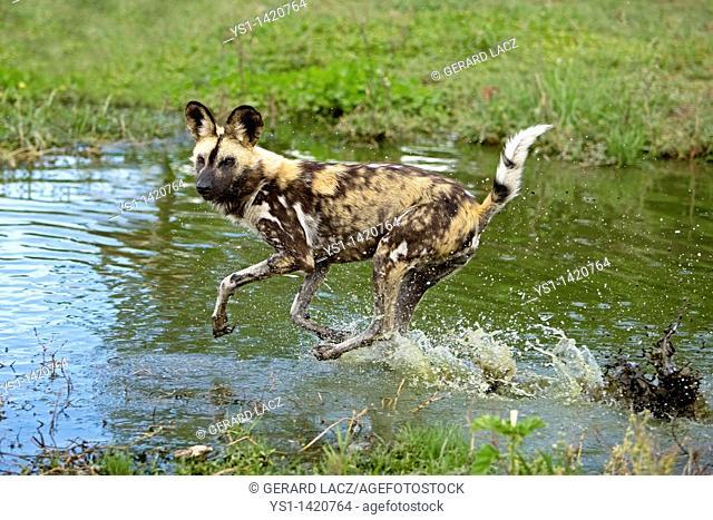 AFRICAN WILD DOG lycaon pictus, ADULT RUNNING THROUGH WATER, NAMIBIA