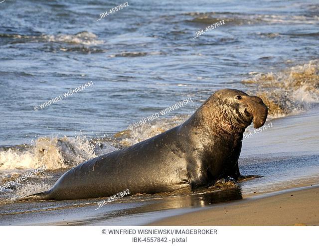 Northern Elephant Sealenbulle (Mirounga angustirostris) goes ashore, beach of San Simeon, Piedras Blancas Colony, California, USA