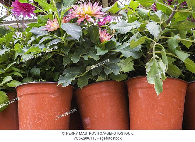 Mauve and yellow green Dahlia flowers being grown in orange plastic containers inside a commercial greenhouse in summer, Quebec, Canada