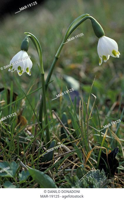 leucojum vernum flowers, ticino park, italy
