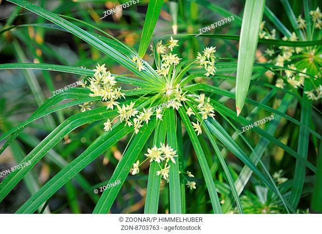 Cyperus involucratus, Zypergras, Umbrella papyrus