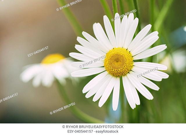 Close View Of Chamomile Or Matricaria, Beautiful Blooming Garden And Decorative White Flower With Yellow Inflorescence In The Center In Summer Spring